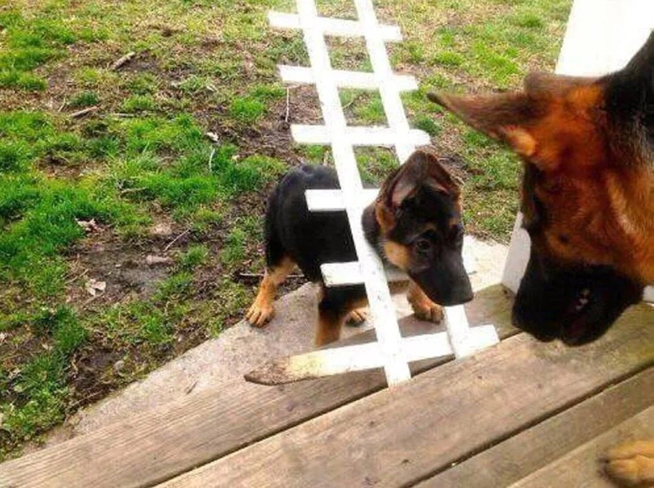 Šuns smalsumas